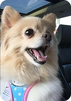 Norman Ok Pomeranian Meet Sunshine A Dog For Adoption Http Www Adoptapet Com Pet 14532784 Norman Oklahoma Pomeranian Dog Adoption Pets Pet Adoption
