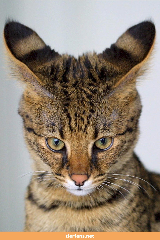 Top 10 Der Beliebtesten Katzenrassen In Deutschland Mit Bildern