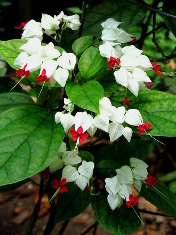 Rare White Red Bleeding Heart Seeds Dicentra Spectabilis Shade Flower Garden Perennial Bush Hardy Romance Ornamen Shade Flowers Flower Garden Beautiful Flowers