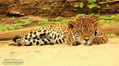 Jaguar (Panthera onca) Otorongo