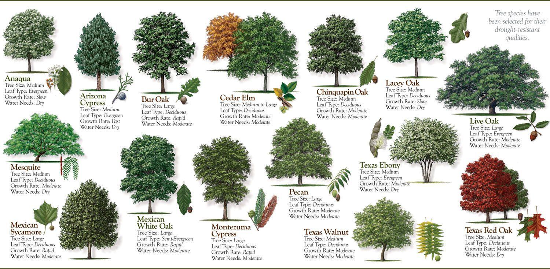 Medium Size Shade Trees Yahoo Image Search Results Medium Size
