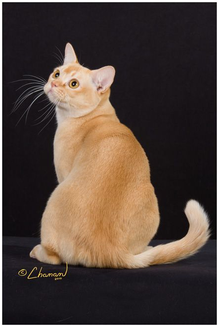 Photo Gallery Burmese Cat Ragamuffin Cat Orange Cats