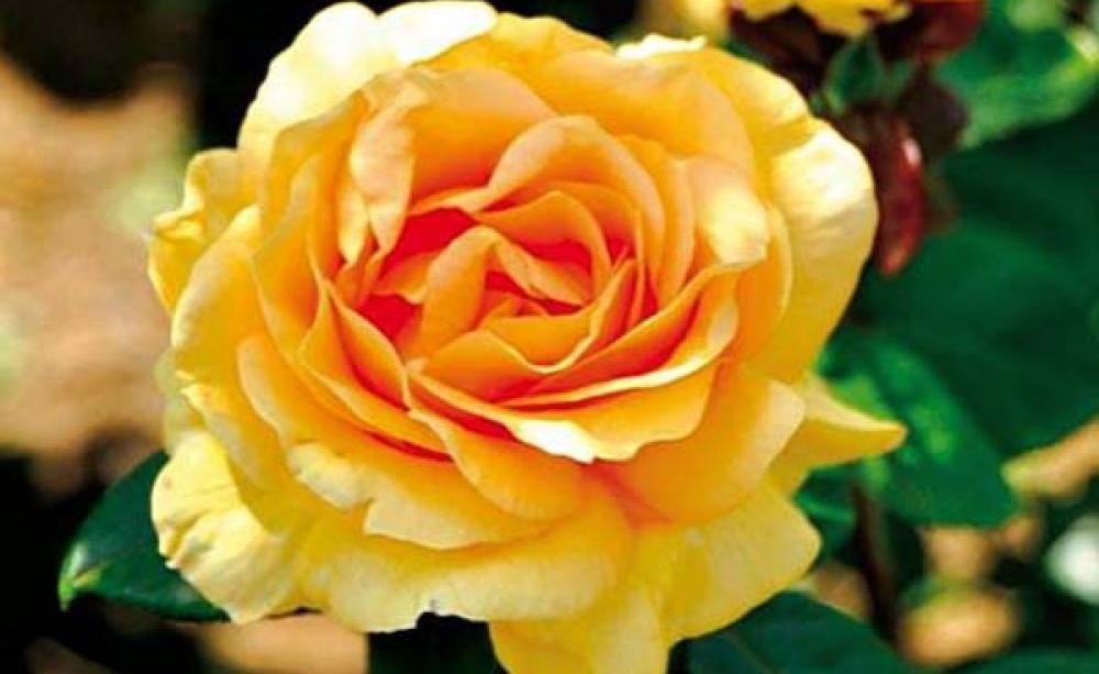 Rosenblüten in Gold und Beere -  Das warme Sonnenlicht im Herbst bringt die Farben der letzten Blüten so richtig zum Strahlen. Nun kommen Rosen in orangefarbenen und rotvioletten Tönen am schönsten zur Geltung.