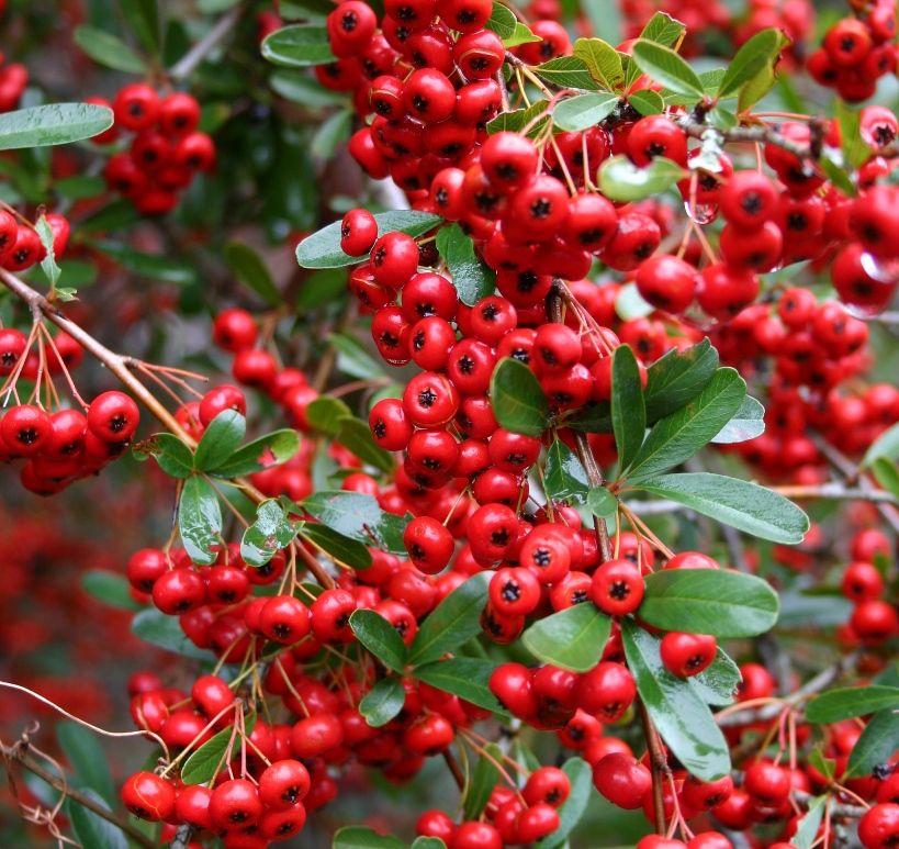 Red Berries Google Images Pretty Plants Poisonous Plants Plants