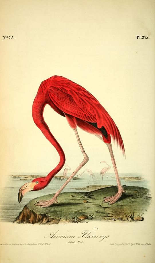 american flamingo  the birds of america   from drawings