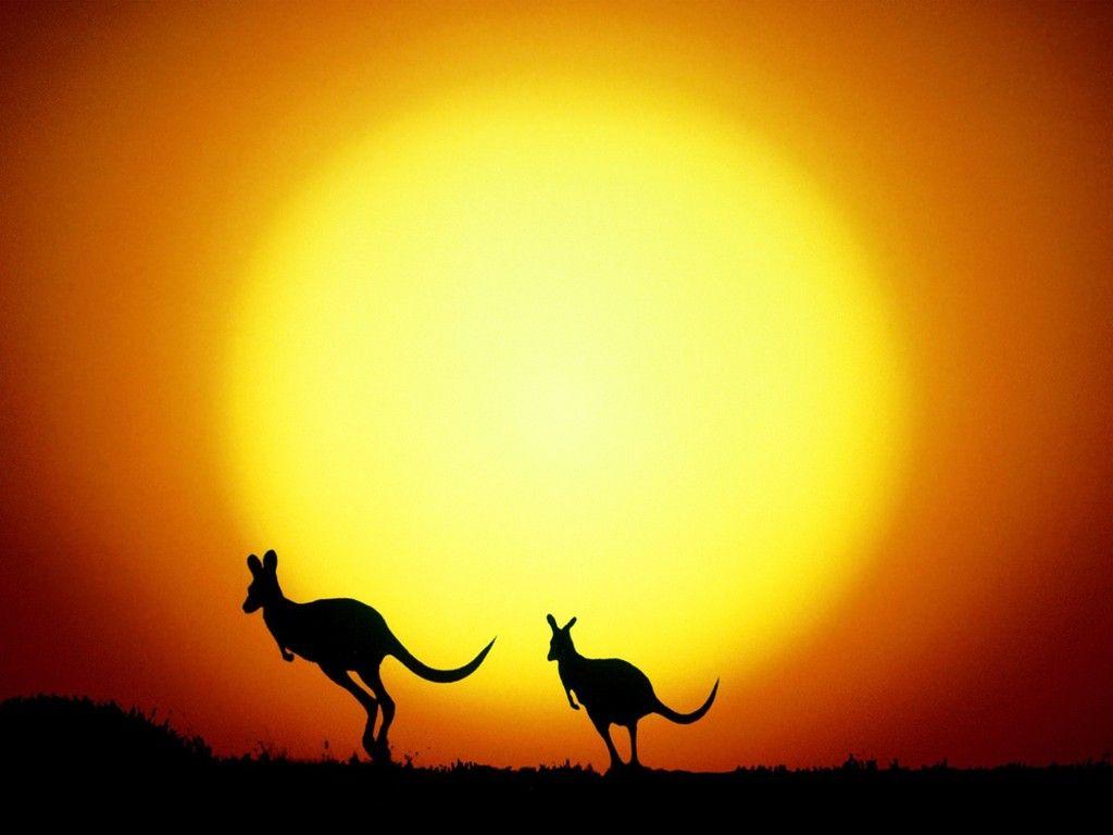 sunset with australian kangaroos