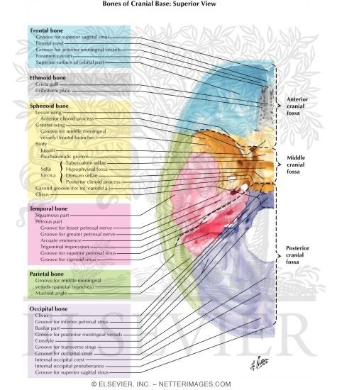 Bones, Markings and Orifices In Base of Skull - Netter Medical ...