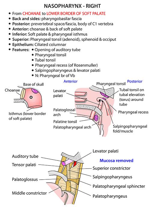 Instant Anatomy Head And Neck Areasorgans Pharynx