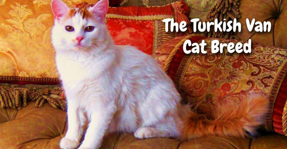 b971966e1d11d6 Turkish Van Cat Breed Title