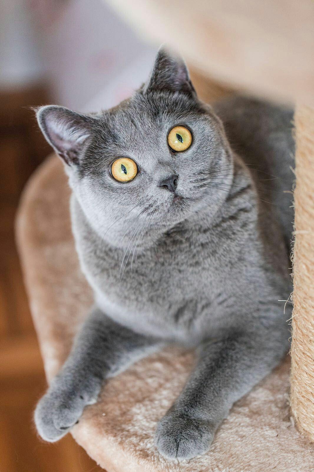Britisch Kurzhaar Bkh Cat Breeds Grey Cats British Shorthair