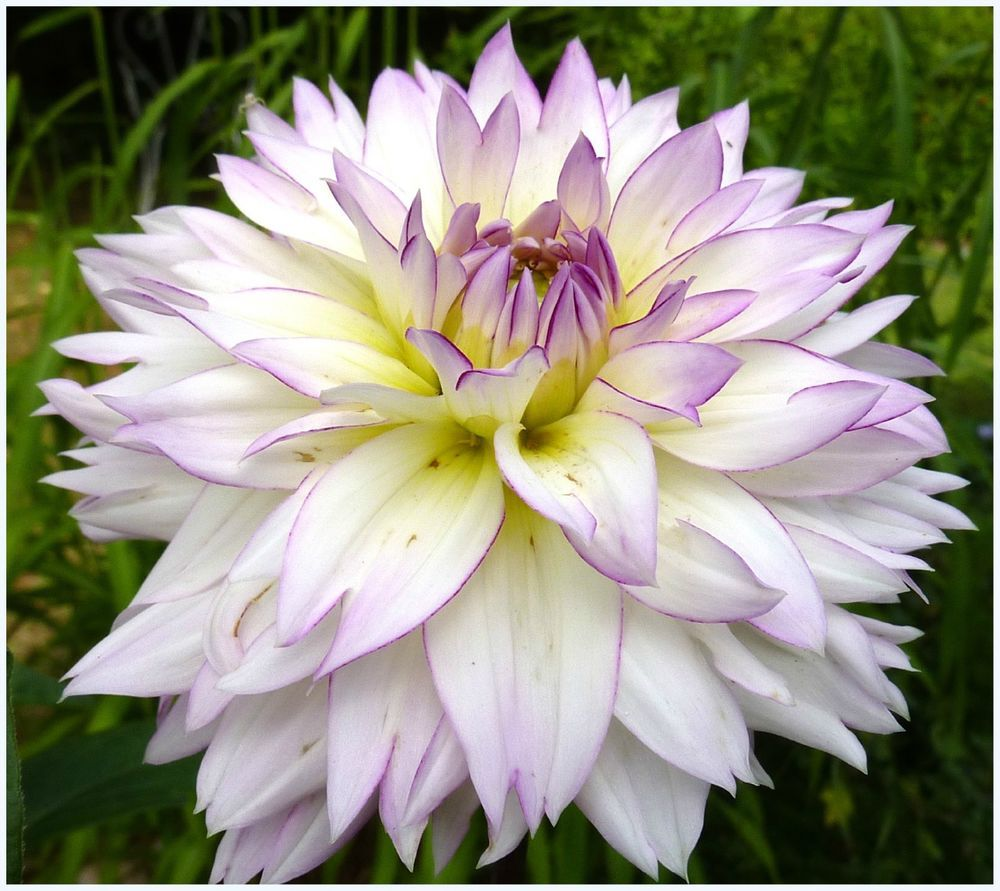 1 Dahlia Crazy Love Flower Bulb White Purple Color Perennial Summer