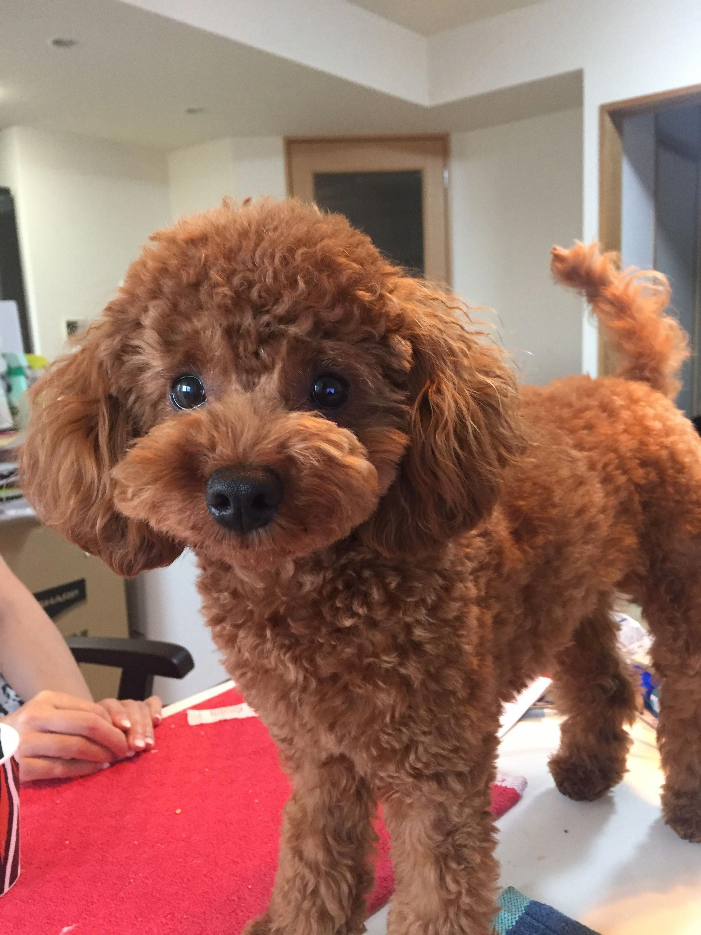 Discover The Proud Poodle Dogs Health Poodleofinstagram