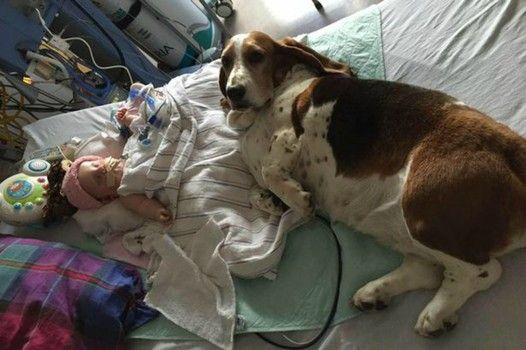 Faithful Basset hounds refuse to leave bed of baby girl in coma