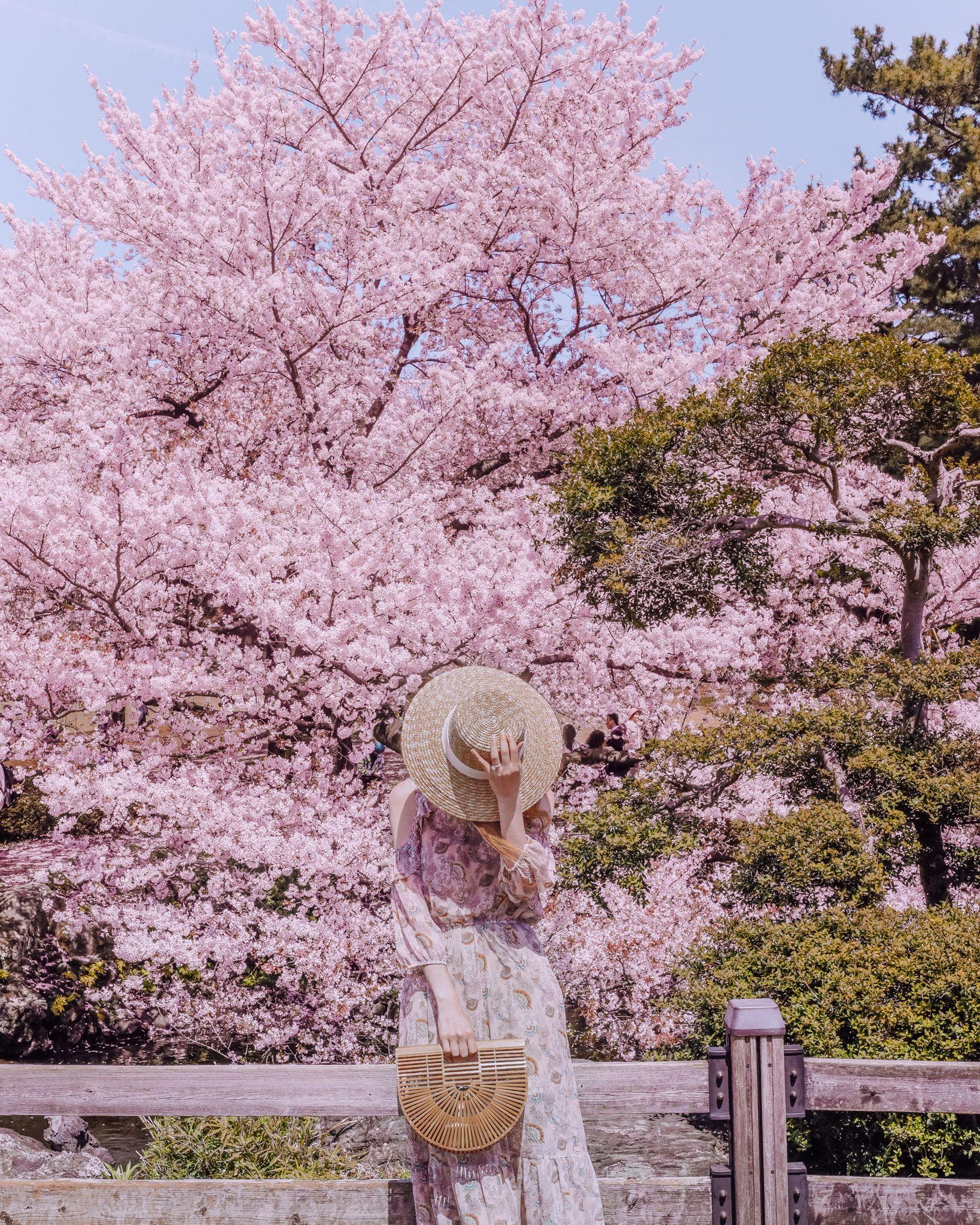 Cherry Blossoms In Tokyo Cherry Blossom Japan Japan Cherry Blossom Season