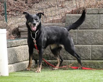 Izzy is a 2 and a half year old Shepherd mix who is full of energy and loves to play! She is available for adoption at the Cleveland APL. Will you help us find Izzy her forever home?