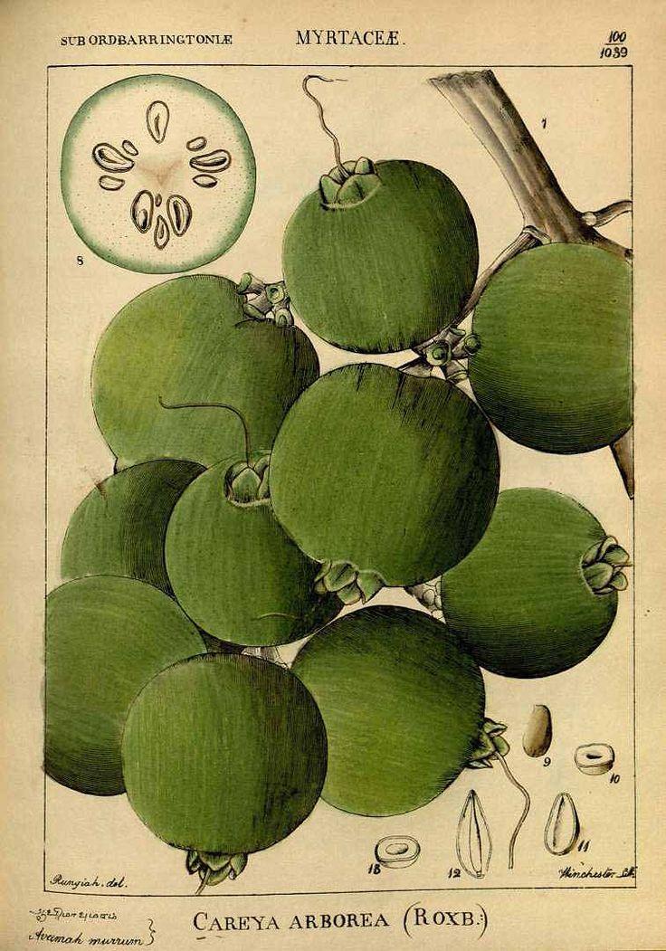 Careya arborea Roxb. Kumba tree. Wight, R., Illustrations