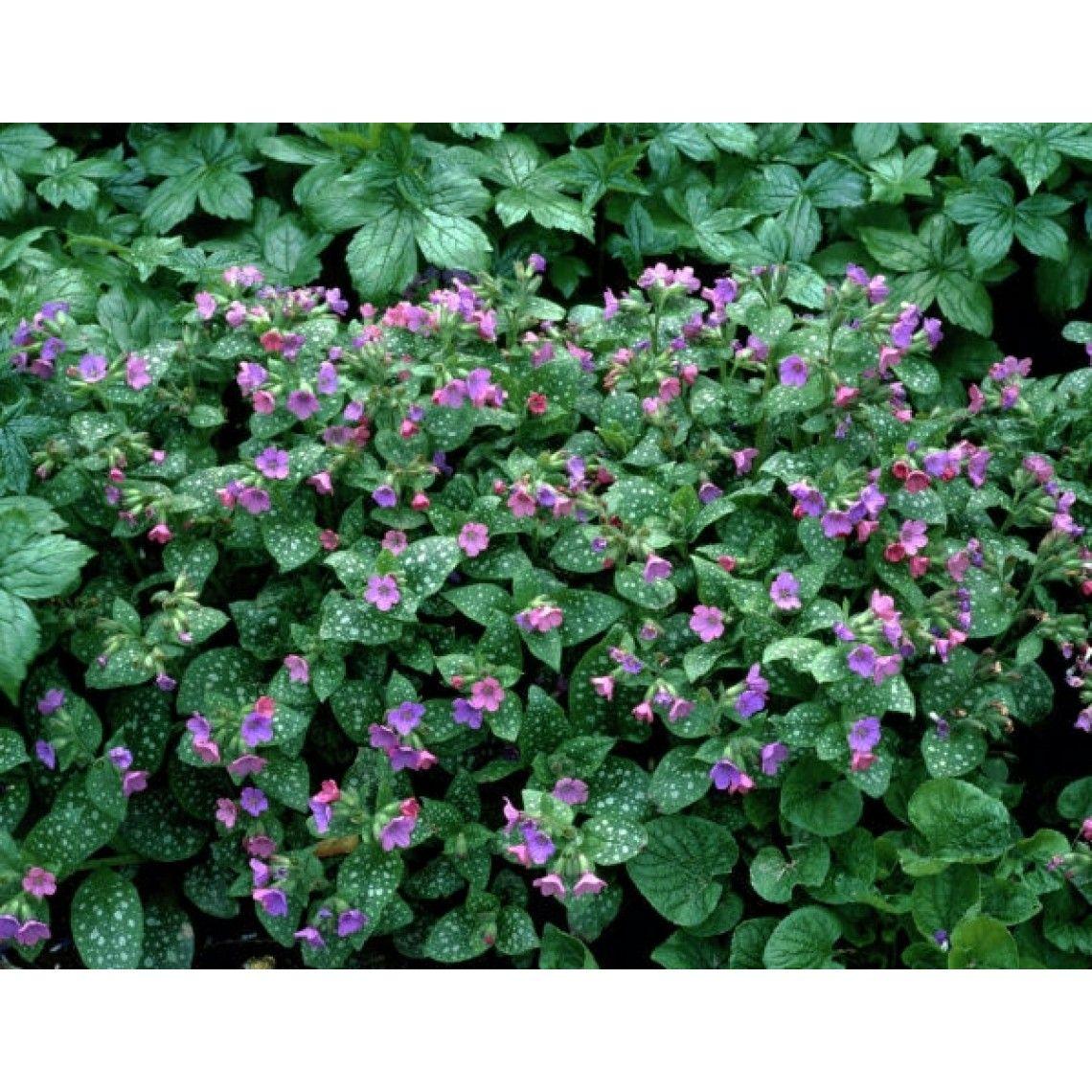Valkotäpläimikkä/ Brokbladig lungört. Passar tillsammans med hosta. Blommar tidigt på våren.