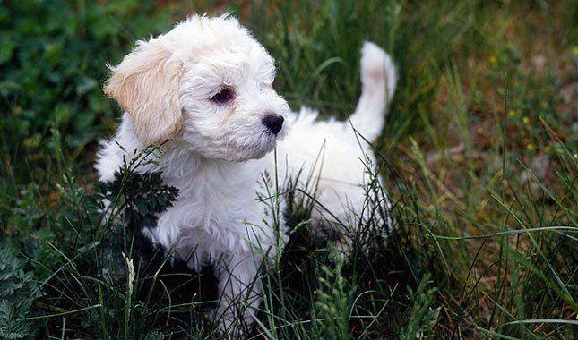 Bolognese Breed Information White Dog Breeds Dog Breeds Fluffy Dogs