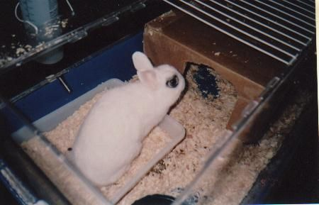 Buttons, a male Dwarf Hotot rabbit we cared for while he was in the rescue's care.