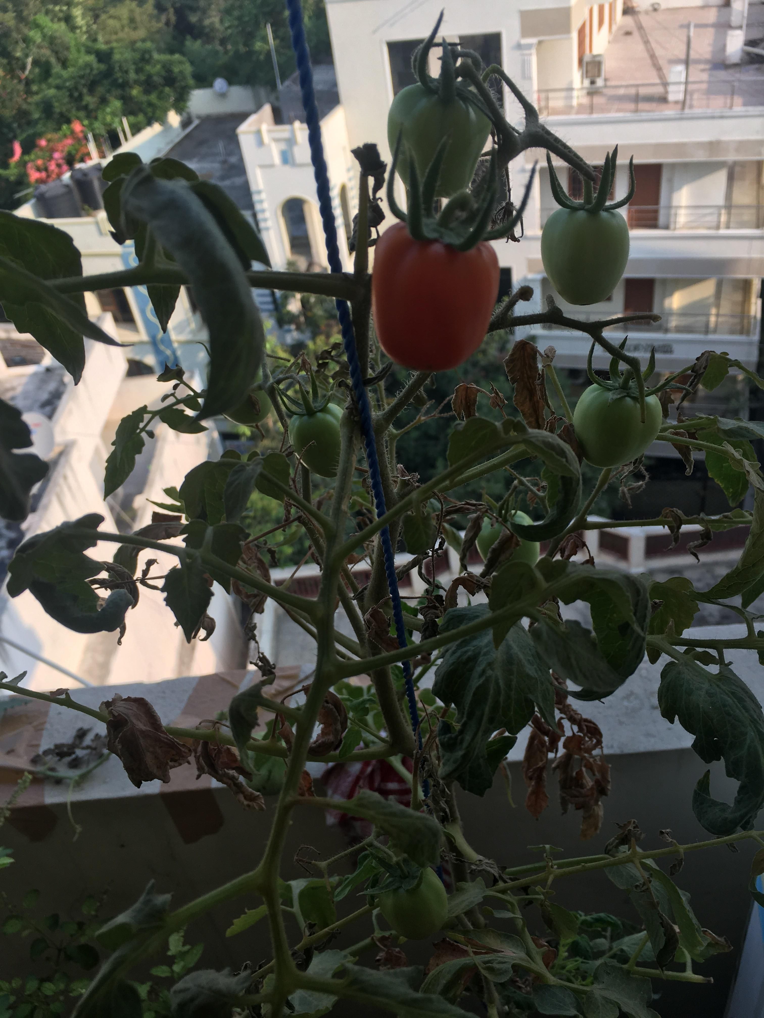So One Of The Fruit With Bottom End Rot Is Changing Colors But Why Are Tomatoes Small Gardening Garden Diy Home Flowers Roses Nature