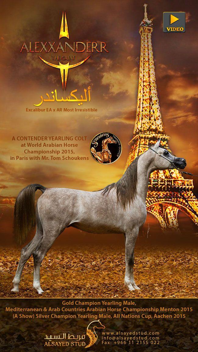 Alexxanderr The Great Horse Equestrian Yearling Arabian Horse