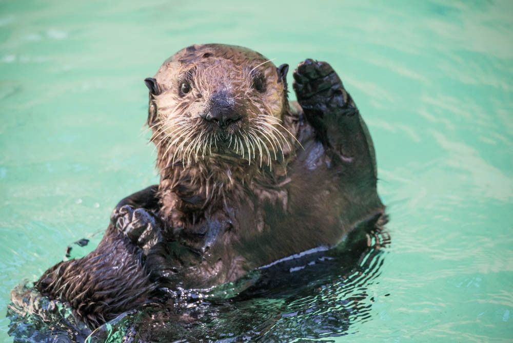 LOOK: Orphan Otter Pups Get New Home, Have Best Day Ever ...
