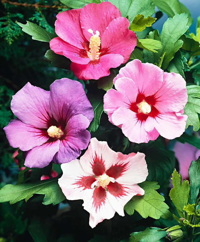 Mixed hibiscus hedge order this gorgeous hibiscus and enjoy a mixed hibiscus hedge order this gorgeous hibiscus and enjoy a beautiful flowering hedge this unusual izmirmasajfo Choice Image