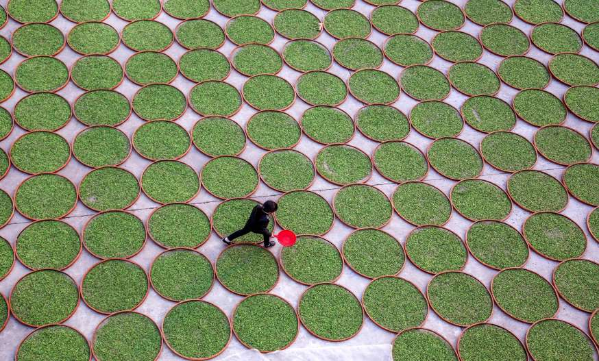 A woman walks in a yard where tea leaves are dried at a