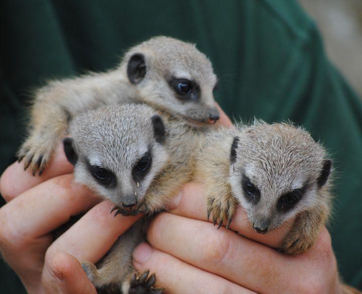 Meerkat Babies ミーアキャット 可愛い