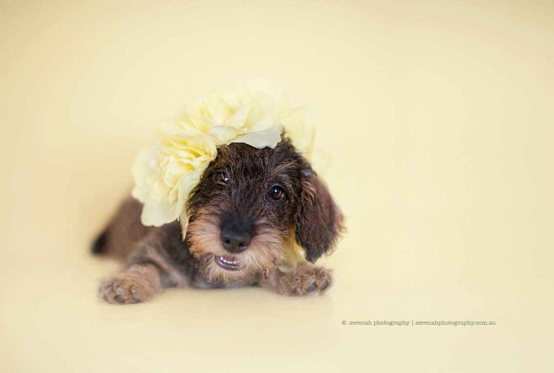 Wire Haired Dachshund Puppy By Serena Hodson Animales Ternurita