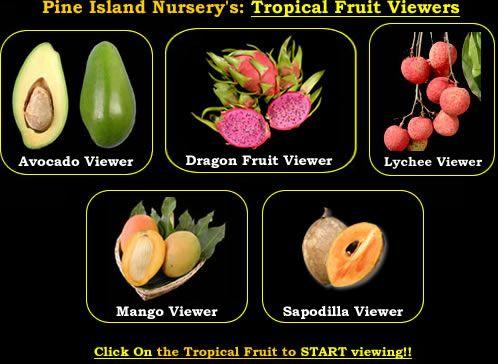 Pine Island Nursery: Tropical fruit trees  Hundreds of