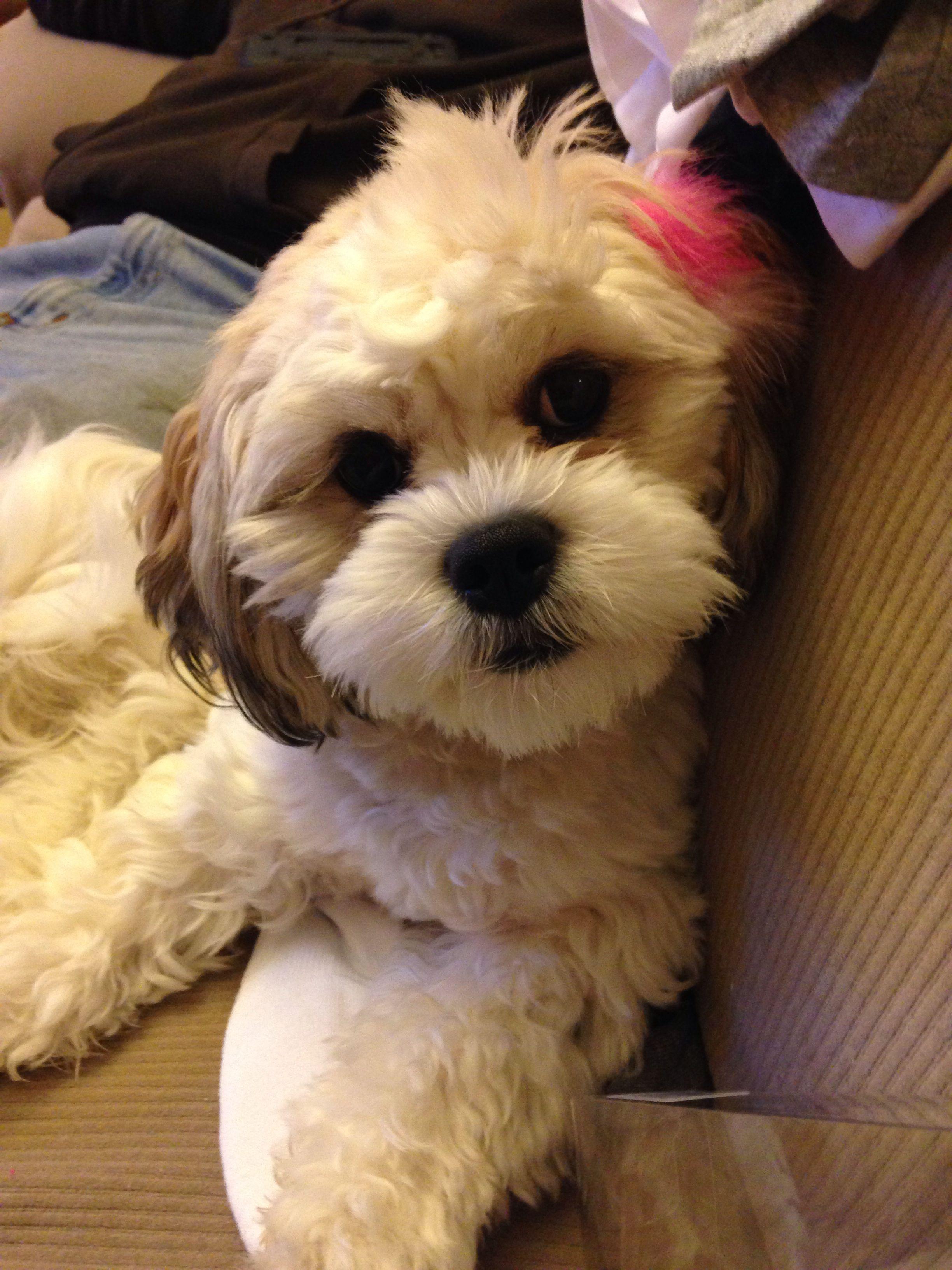My Zucho Khloe My Shichon Puppy Our Teddy Bear