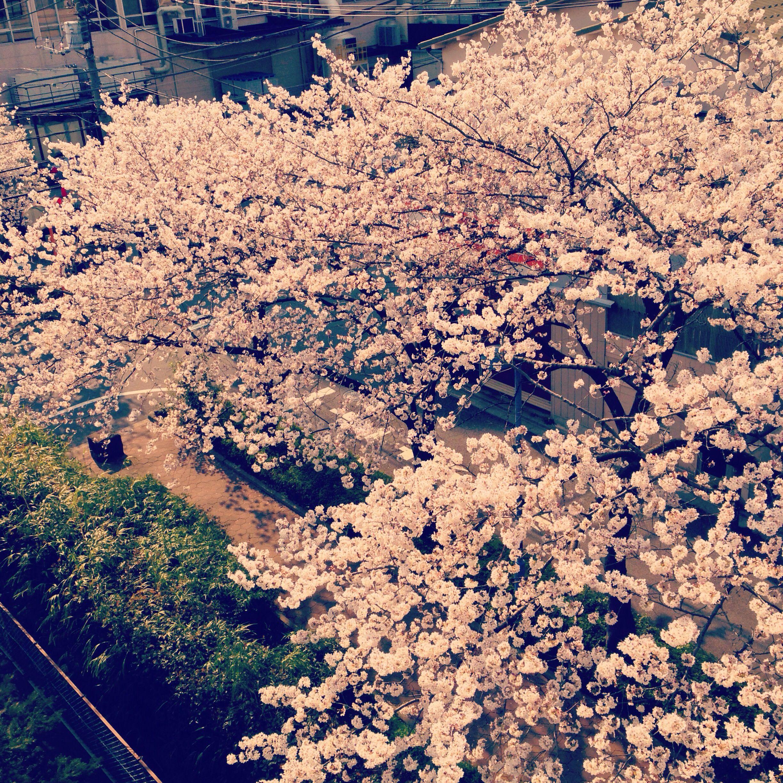 #cherryblossom #shimurasakaue #Tokyo
