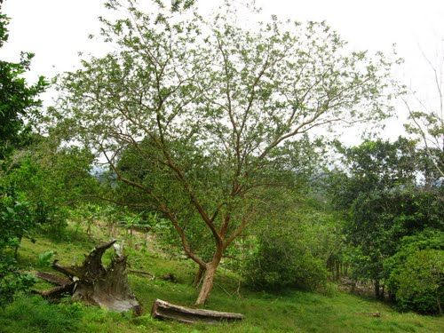 arbol de guayaba psidium guajava arboles trees