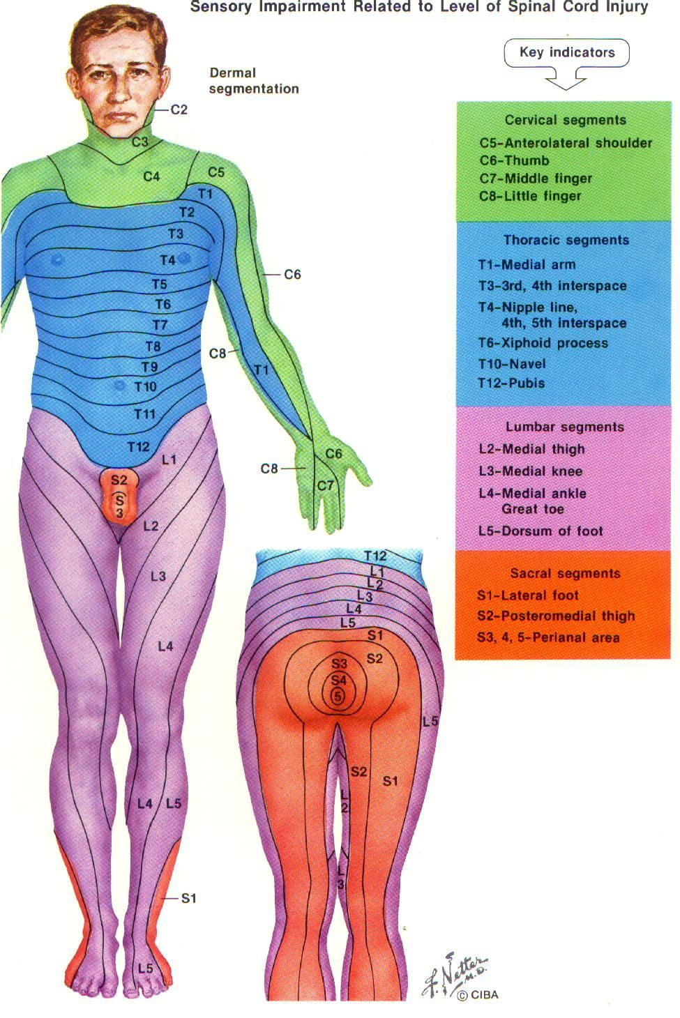 dermatomes map | Spinal Cord | Physical therapy, Spinal ... on