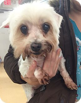 Oak Ridge Nj 14 Years Old Maltese Meet Gizmo A Dog For Adoption Http Www Adoptapet Com Pet 17129282 Oak Ridge New Jerse Dog Adoption Pets Pet Adoption