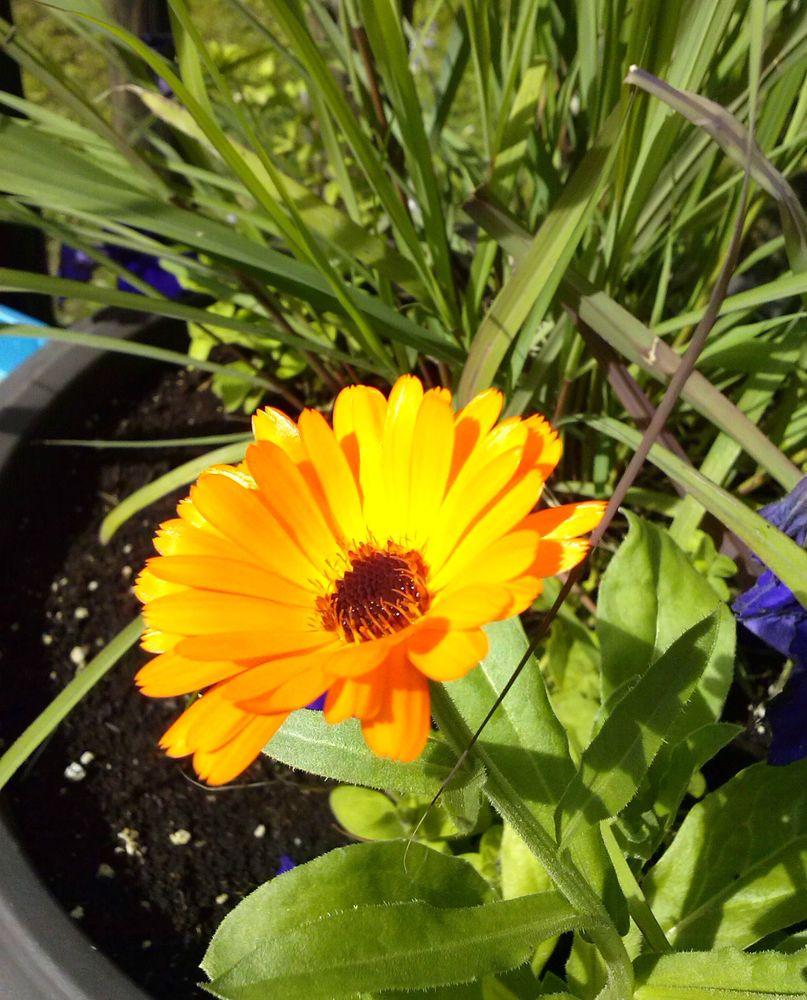 Calendula Officinalis Bon Bon MixedHerb Flower Seeds 100