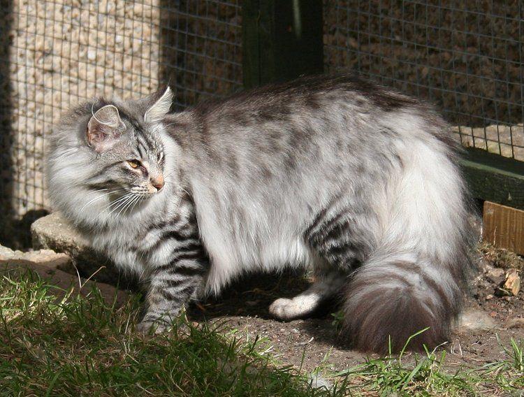 Champion Drifa Norwegian forest cat, Cat