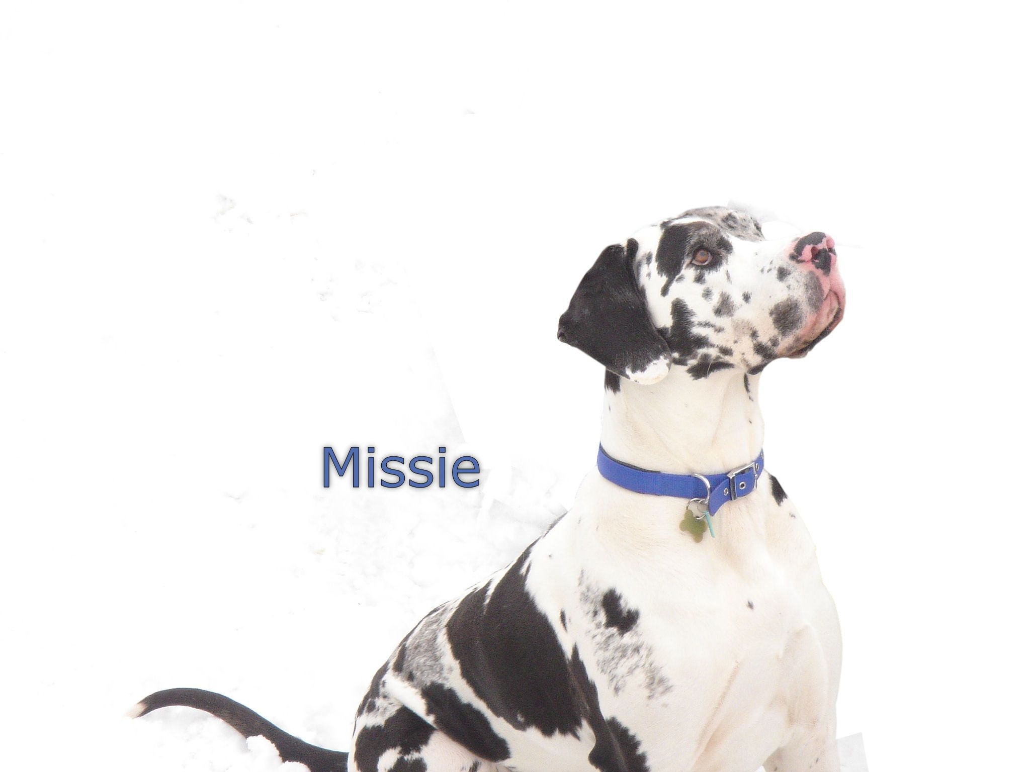 Missie, an amazing great dane in England