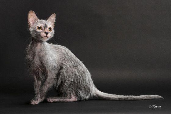 Lykoi Kitten For Sale Werewolf Cats Wolf Cats Natural Mutation Lykoi Kittens For Sale Werewolf Cat Lykoi Pets