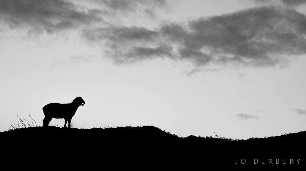 lamb silhouete