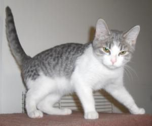 Adopt Echo On Grey And White Cat Short Hair Cats Kittens