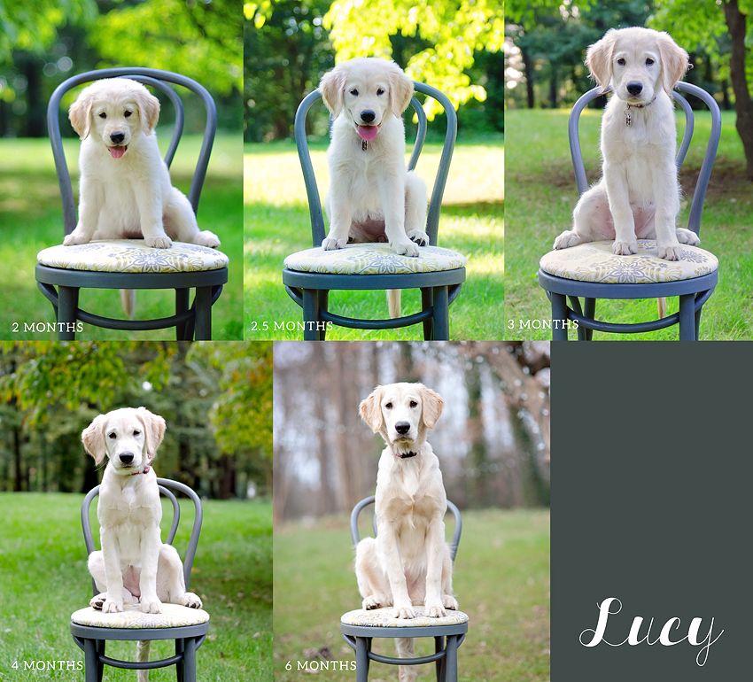 Golden Retriever Puppy Photo Collage 2 Months Old To 6 Months Old