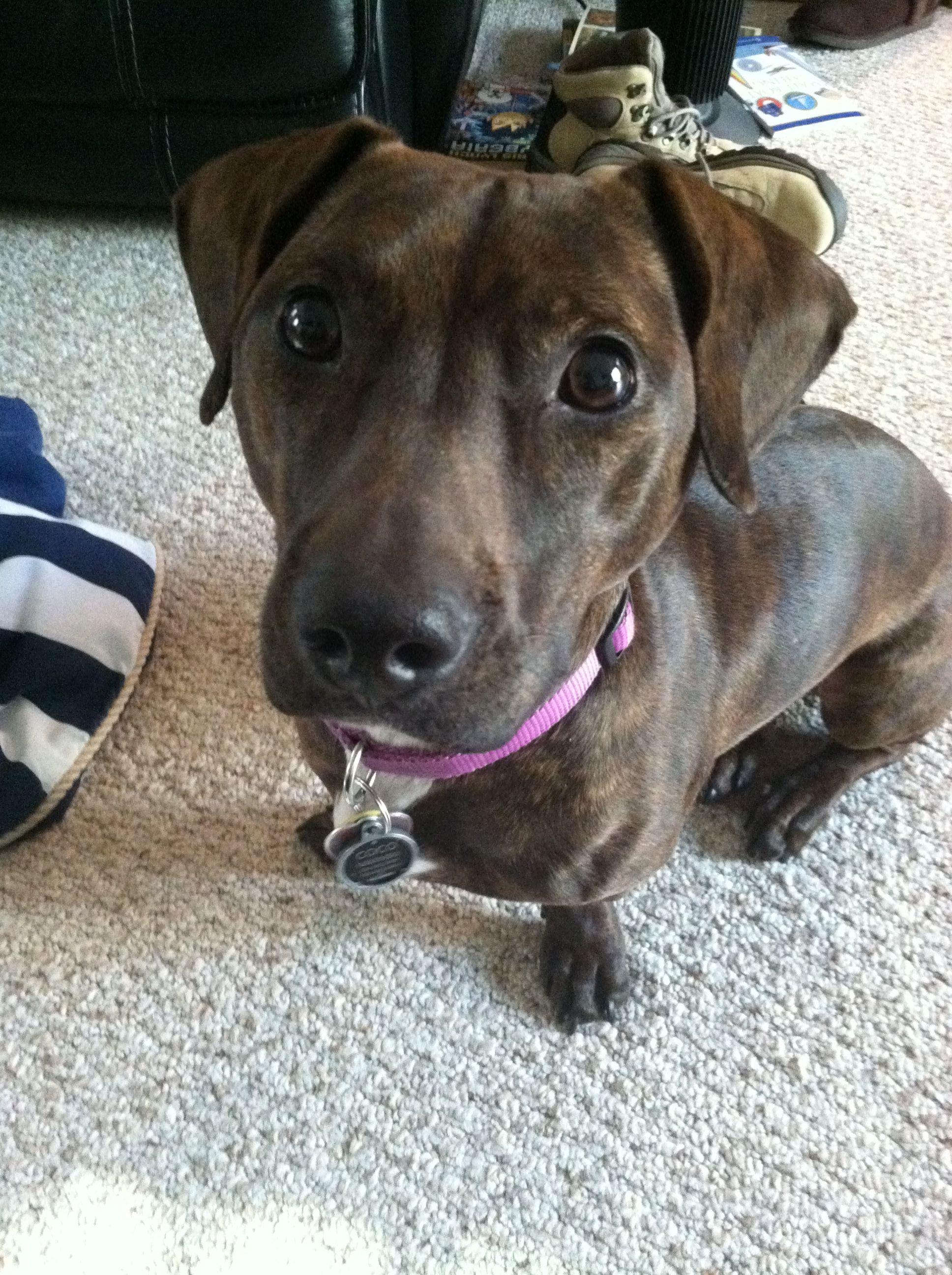 Doxbull Dog Pitbull Mix Pitbulls Pitbull Puppies