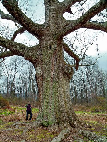 Sacred Oak Sacred Oaks Tree Sacred