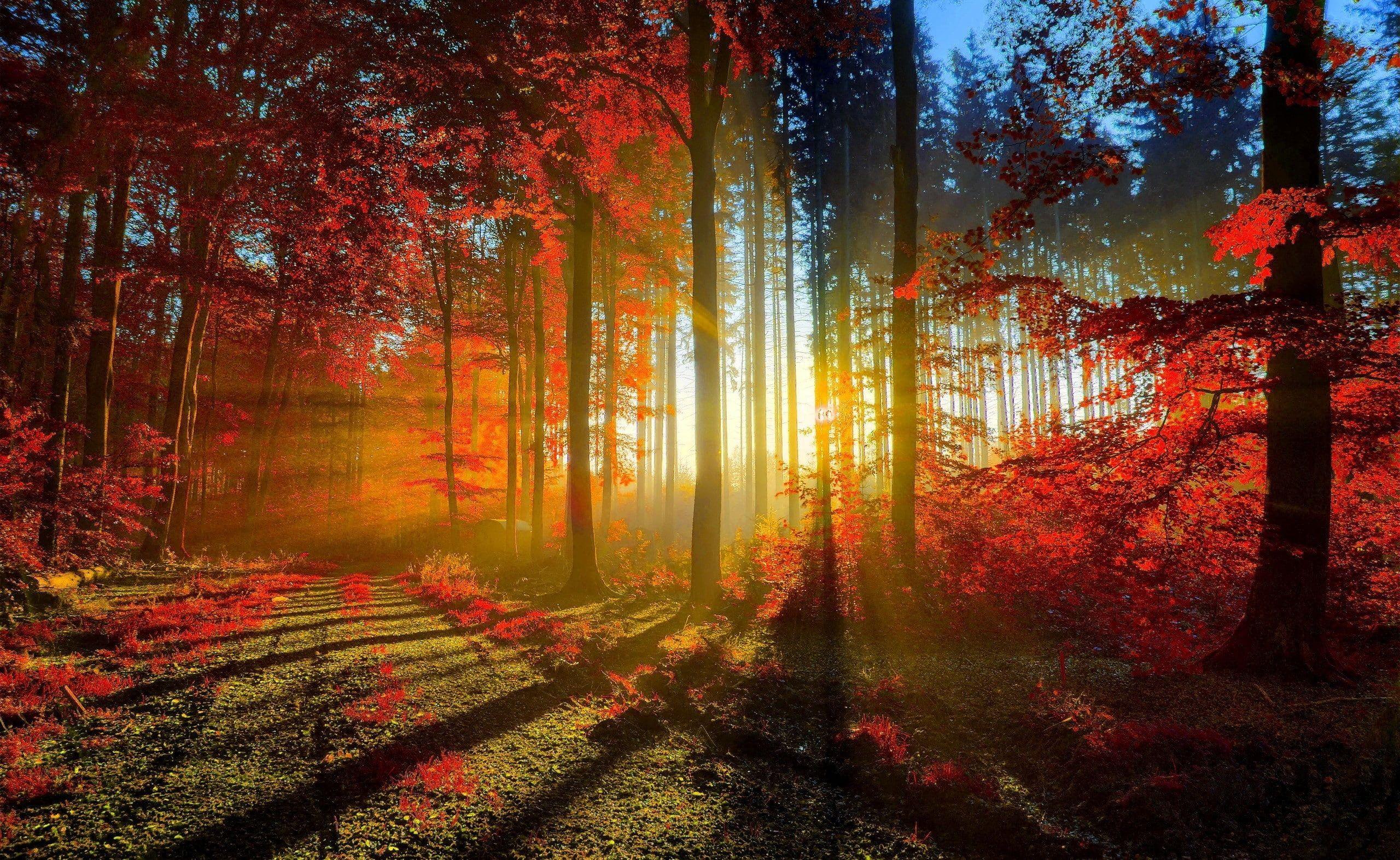 Red Forest Photography Of Autumn Seasons Autumn Nature Beautiful Autumn Trees Forest Fall Path Sun Rays Sunra Abstraktnyj Pejzazh Pejzazhi Lesnye Oboi Wallpaper rays of light trees autumn