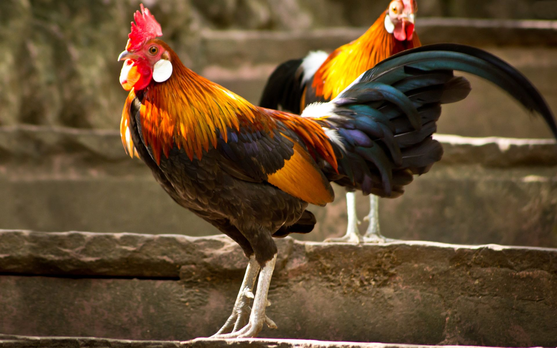 Rooster Jpg 1920 1200 Rooster Beautiful Photos Of Nature Bird Wallpaper
