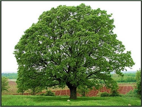 illinois state tree white oak land of lincoln pinterest oak