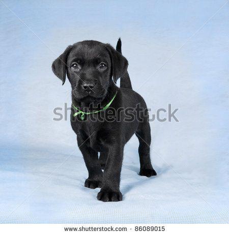 Black Lab Rottie Mix Lab Mix Puppies Rottweiler Lab Mixes Lab Dogs