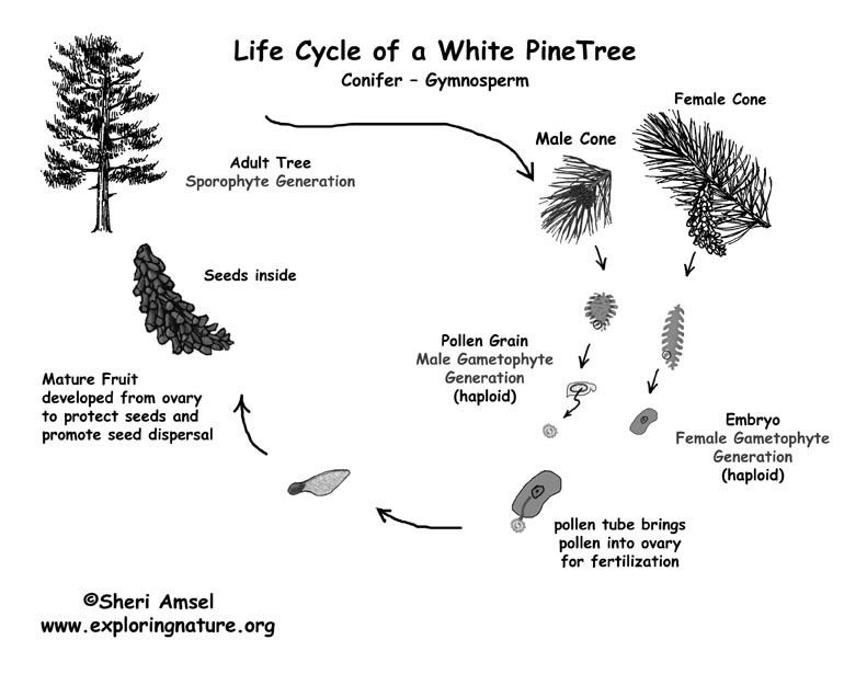 Printable Black And White Pdf Of Pine Life Cycle Gymnosperm